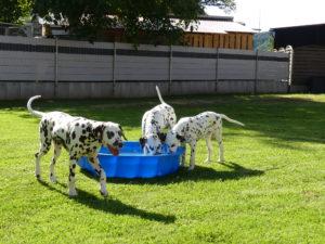 Dalmatiner mit Wassermsuchel